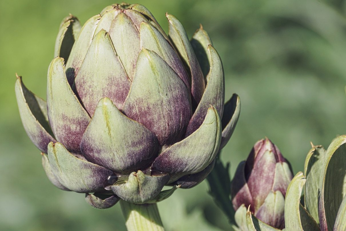 Artichokes are late spring vegetables