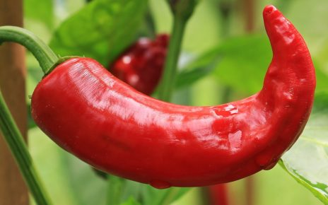 Chilli Pepper Photo by pixel2013