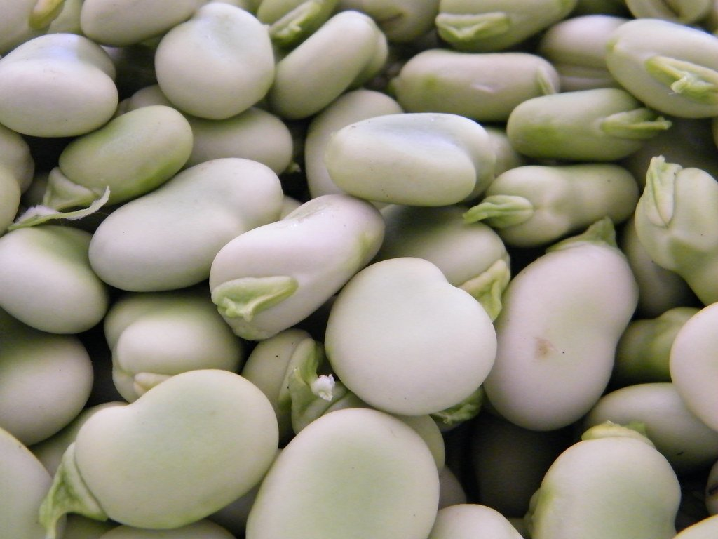 Fava beans are best harvested and seasonal in late spring through late summer